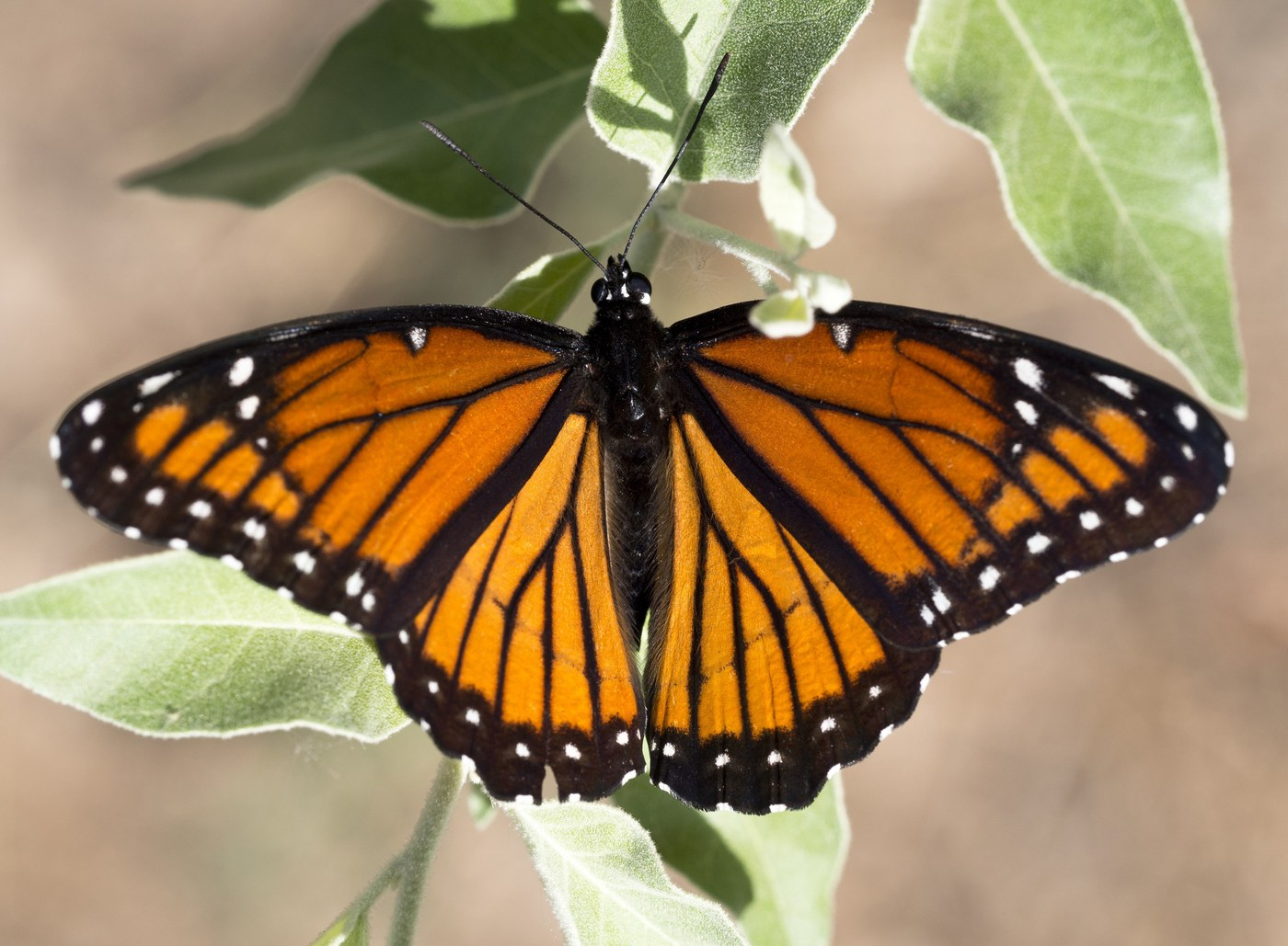 Viceroy butterfly with black hindwing bar. Photo: Pexels.com