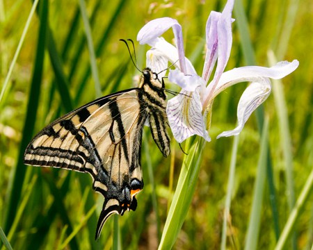 Western Tiger Swallowtail lands on hiker's face at the Metolius Preserve. Photo: Sue Anderson