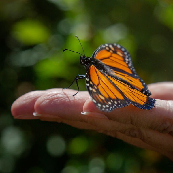 A Monarch butterfly being released at Camp Polk Meadow Preserve. Photo: Jay Mather.
