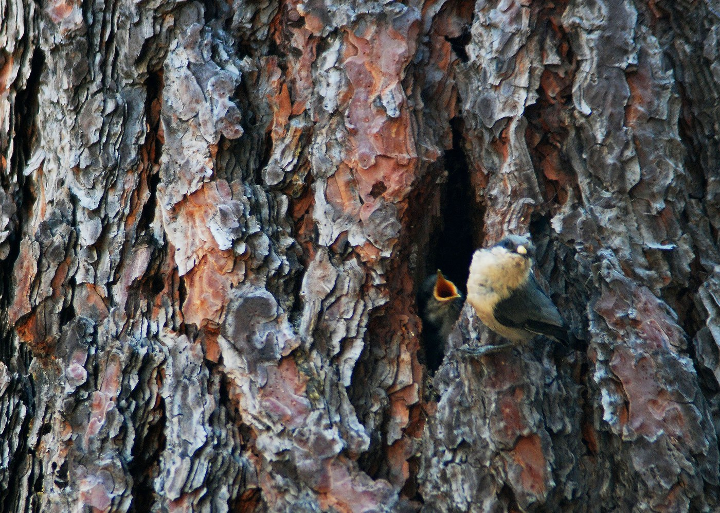 Pygmy nuthatch and young near nest hole in created snag at Camp Polk Meadow. Photo: Karen Parker