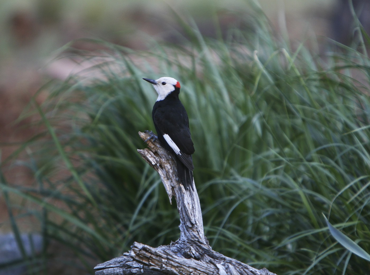 White-headed woodpecker perched on snags. Photo: Dick Tipton