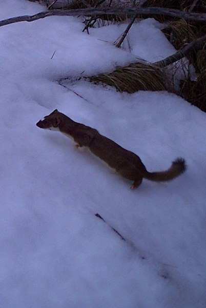 A weasel at Indian Ford Meadow Preserve. Photo: Dane Zehrung.