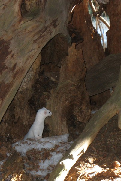A weasel looks around, maybe for a next meal? Photo: Jana Hemphill.