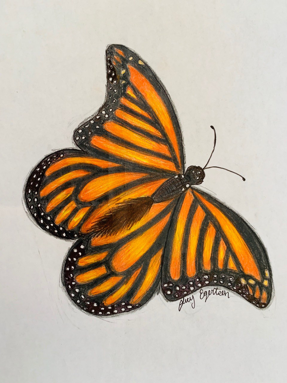 Monarch drawn by Lucy Egertson.