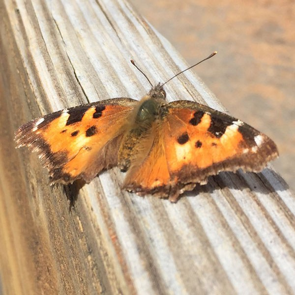 California Tortoiseshells have slightly tattered wings in the spring. Photo: Land Trust.