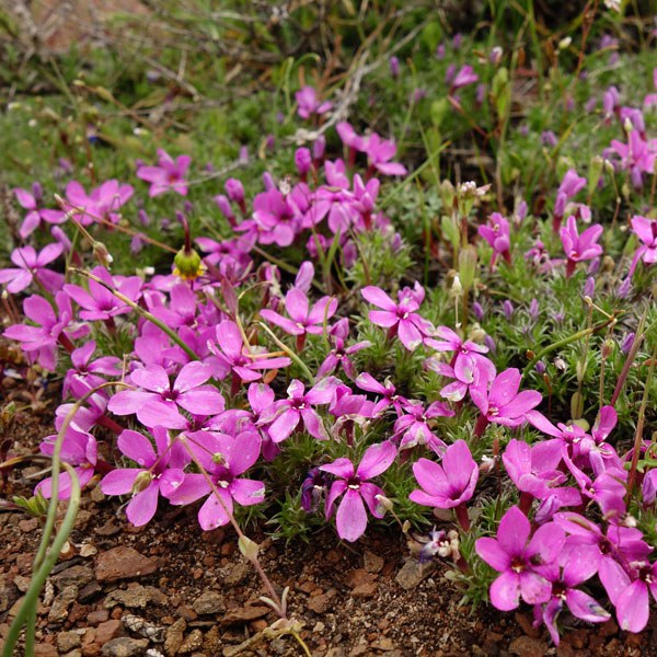 Phlox. Photo: Land Trust.