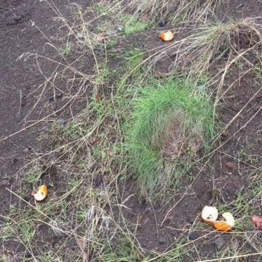 Orange peels left on the side of the trail. Photo: Land Trust.