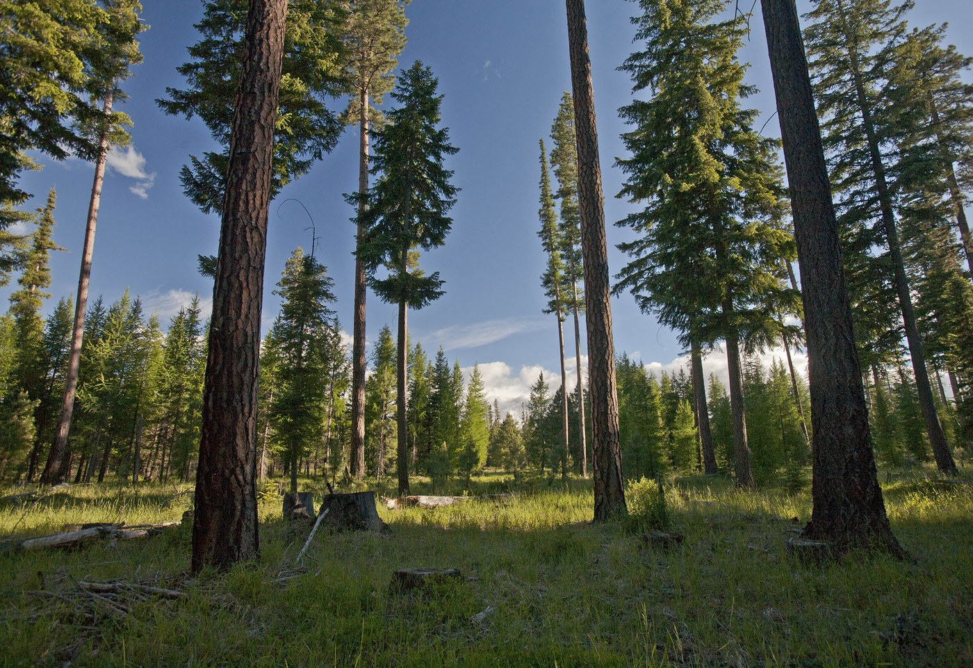 Ponderosa pines stand tall at the Metolius Preserve. Photo: Jay Mather.