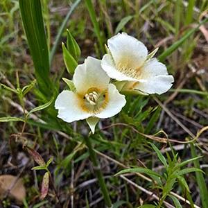 Subalpine Mariposa Lily (Calochortus subalpinus). Photo: Joan Amero.