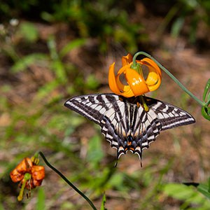 Columbia lily (Lilium columbianum). Photo: Jay Mather.