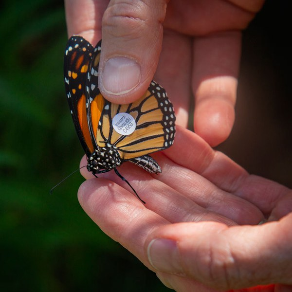 Tagging monarchs to help with research efforts. Photo: Jay Mather.