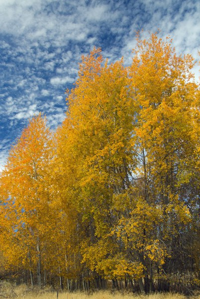 Yellow aspens at Camp Polk Meadow Preserve. Photo: Darlene Ashley.