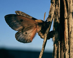 Pandora moth. Photo: Terry Spivey/Forestry Images.
