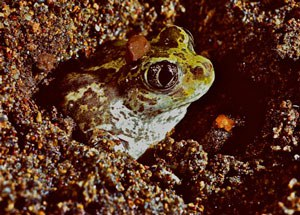 Great basin spadefoot. Alan St. John.