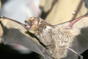 Hoary bat. Photo: Jim Anderson.
