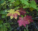 Details of vine maple leaves at the Metolius Preserve. Photo: Jay Mather.