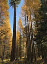 The entire forest at the Metolius Preserve turns golden in the fall. Photo: Joan Amero.