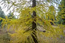 Bright yellow view of the branches of a larch tree. Photo: Tim Cotter.