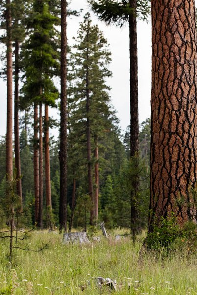 The forests of the Metolius Preserve. Photo: Tyler Roemer.