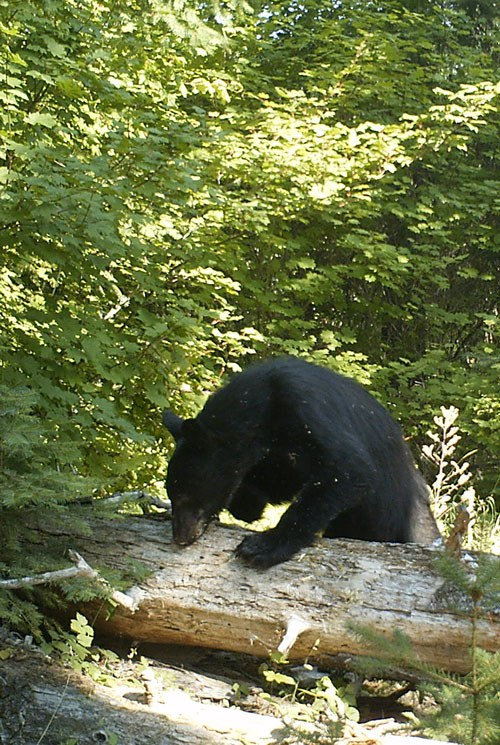 A black bear forages for food. Photo: Land Trust.