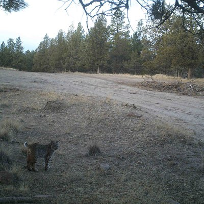 A bobcat stands by the side of a road. Photo: Land Trust.
