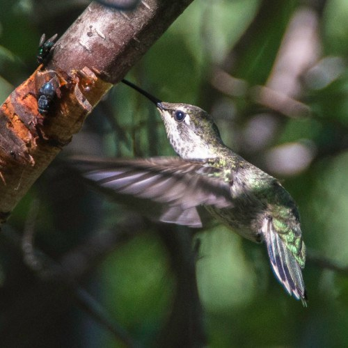 Anna's hummingbird in the summer at Camp Polk Meadow Preserve. Photo: Kris Kristovich.