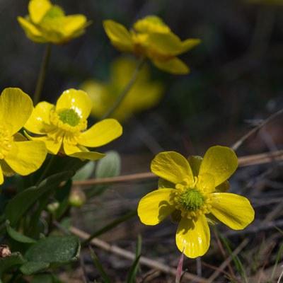 Sagebrush buttercups. Photo: Gary Miller.