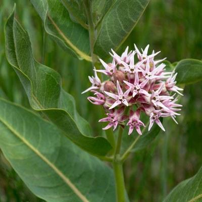 Showy milkweed. Photo: Darlene Ashley.