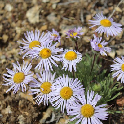 Showy Townsend Daisy. Photo: Land Trust.