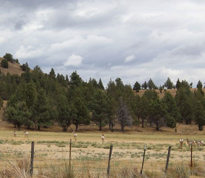 Pronghorn maintaining their distance from intruders--as usual--at Aspen Valley Ranch. Photo: Land Trust.