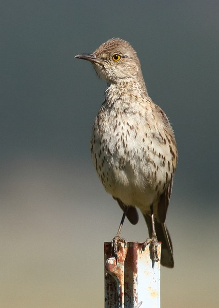A Sage thrasher perched on a fencepost. Photo: Andrew Johnson.