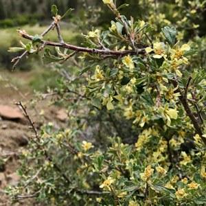 Bitterbrush. Photo: Joan Amero.