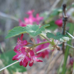 Red-flowering currant. Photo: Land Trust.