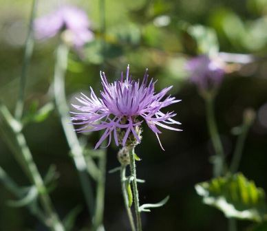 Spotted knapweed. Photo: Tim Cotter.