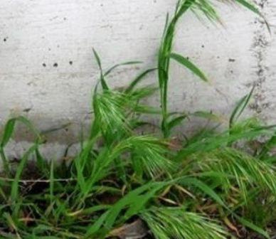 Cheatgrass. Photo: Land Trust.