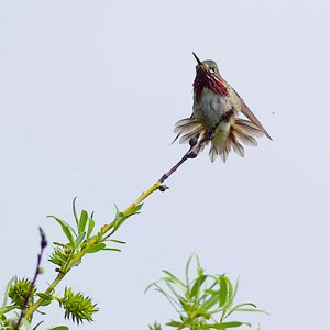 A Calliope hummingbird. Photo: Dave Drake.