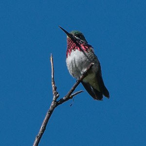 A male Anna's hummingbird. Photo: Kris Kristovich.