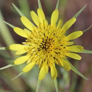 Yellow Salsify. Photo: Land Trust.