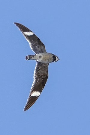 White wing patches and a long wingspan are identifiers of the common nighthawk. Photo: John Williams.