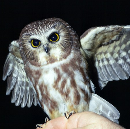 Northern saw-whet owl. Photo: Jim Anderson.
