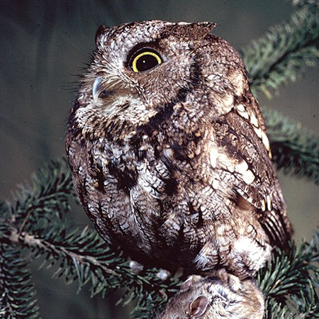 Western screech-owl. Photo: Jim Anderson.