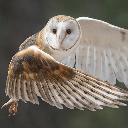 Barn owl. Photo: John Williams.