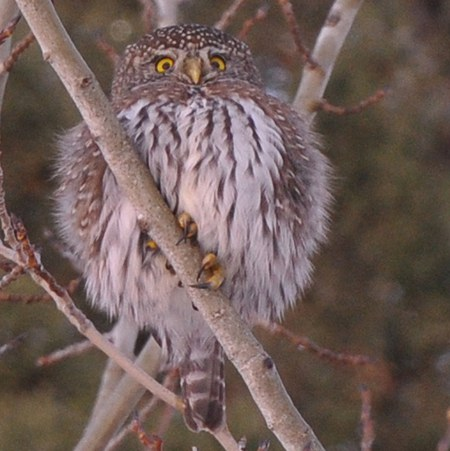 Northern pygmy-owl. Photo: Kris Kristovich.