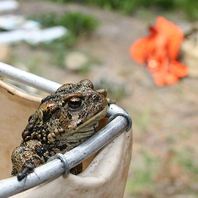 A Western toad. Photo: Land Trust.