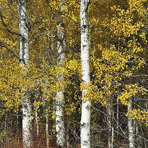 Grove of aspen turn bright yellow in the fall. Photo: Byron Dudley.