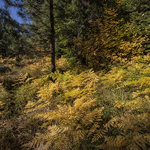Golden fern on the forest floor. Photo: Jay Mather.