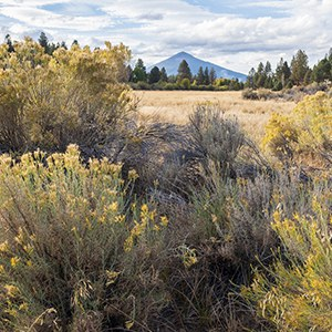Rabbitbrush blooms in the late summer. Photo: Malcolm Lowery.
