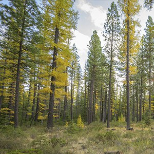 Western larch lose their needles in the fall. Photo: Tim Cotter.