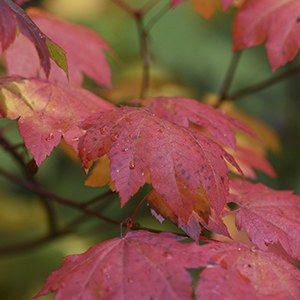 Vine maple leaves burst forth in orange and red during the fall. Photo: Tim Cotter.