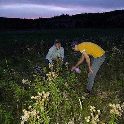 Staff inoculate Canada thistle with the rust fungus. Photo: Land Trust.